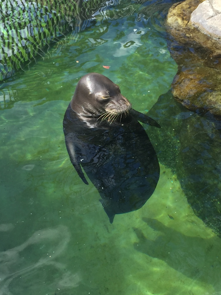 This Hawaiian Monk Seal has been at the aquarium for 31 years!